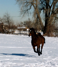 In response to the threat of danger, a horse, as a prey animal, acts on the premise of run first, think second. A horse will run as far as they need to feel the danger has subsided and then mentally access the situation.
