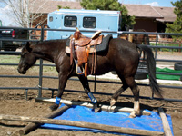 This mare's initial terror of a blue tarp rendered her incapable of curiosity, but through patient handling, utilizing approach and retreat, she has conquered her fear and become confident and willing around the object.