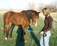 The relaxed, low headed body language of this mare suggests that she is desensitized to the stage 2 pressure of the stick and string near her right shoulder.