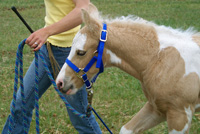 Having learned to yield to pressure immediately following birth, Frisco is a polite and willing partner on the lead rope at just one week of age.