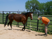 As the horse approaches the other side of the fence, he is asked to disengage his hindquarters. Again, this gelding is responding to stage 1 pressure, yielding his hindquarters from just the intent look of his handler. If he had not responded, the next step would be to point the stick toward the hindquarters and if necessary reach out and tag the hindquarters.
